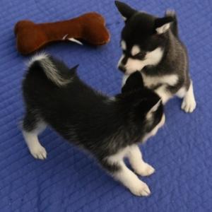 Великолепные щенки Сибирский хаски